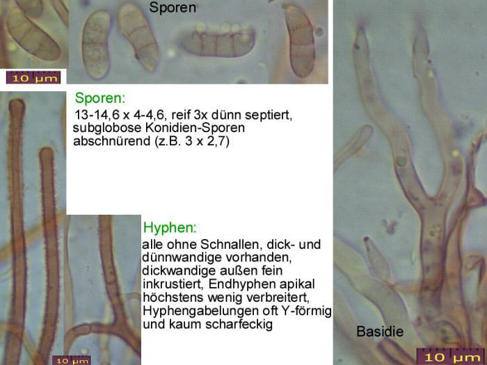 Dacrymyces-lacrymalis-101223-MCol-01