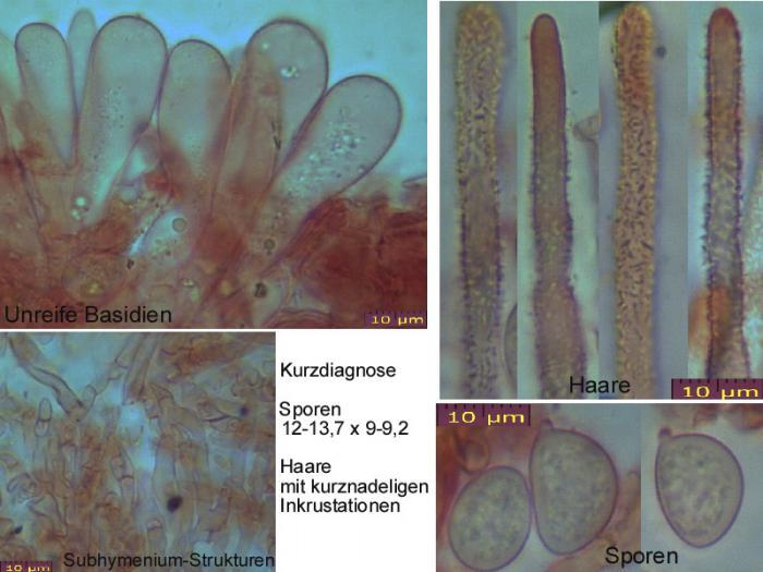 Lachnella-alboviolascens-100520-MCol-01