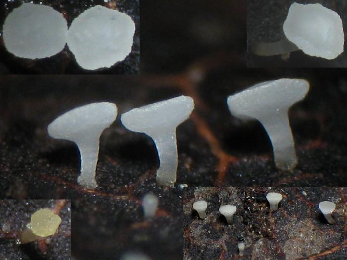 Gemeines Blätter-Stielbecherchen (Form)