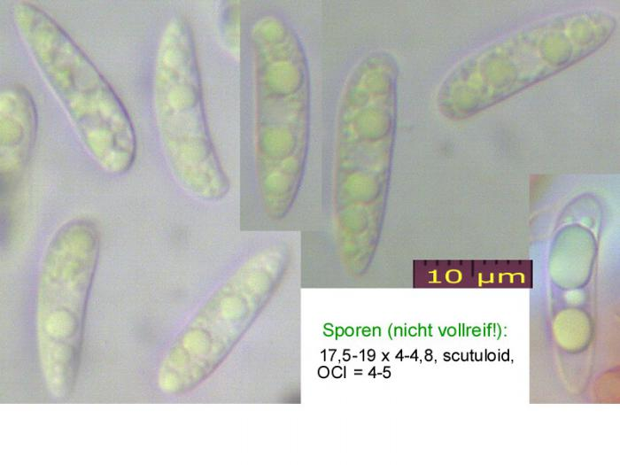 Hymenoscyphus-pseudoalbidus-110708-MCol-01