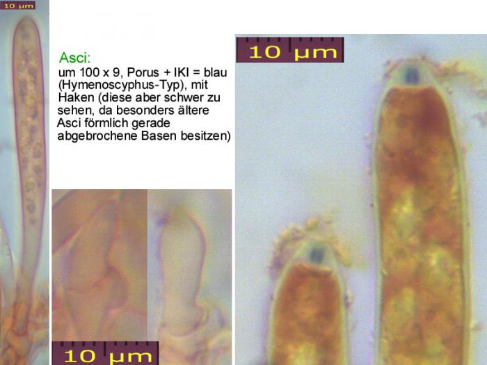 Hymenoscyphus-pseudoalbidus-110708-MCol-02