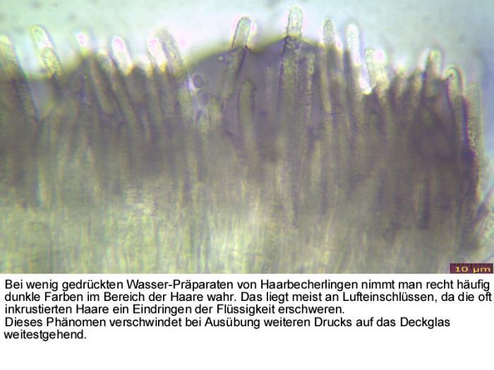 Lachnum-Luftpolster