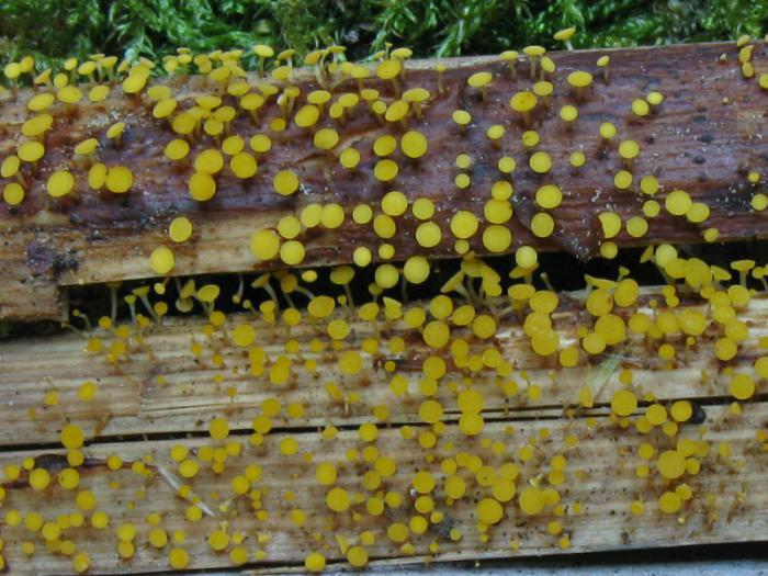 Gelbes Knöterich-Stielbecherchen