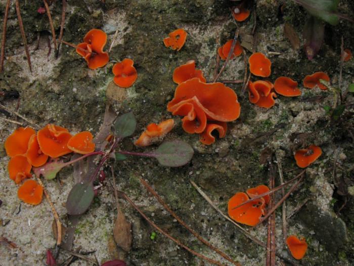Gemeiner Orangebecherling