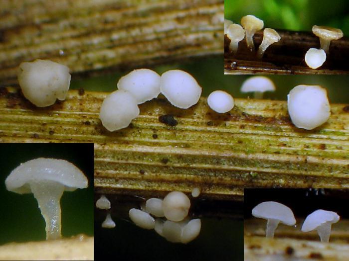 Allophylaria-cf-Phalaris