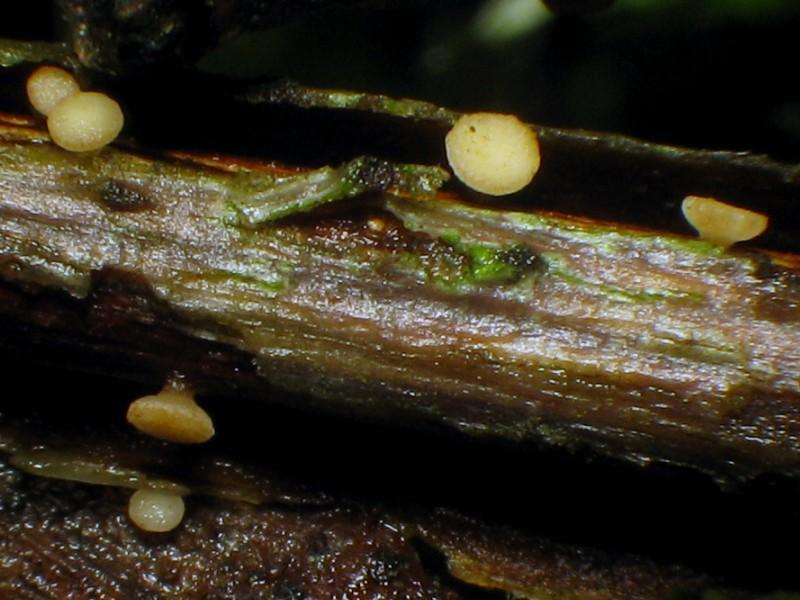 Hymenoscyphus-salicellus-121105-02xs