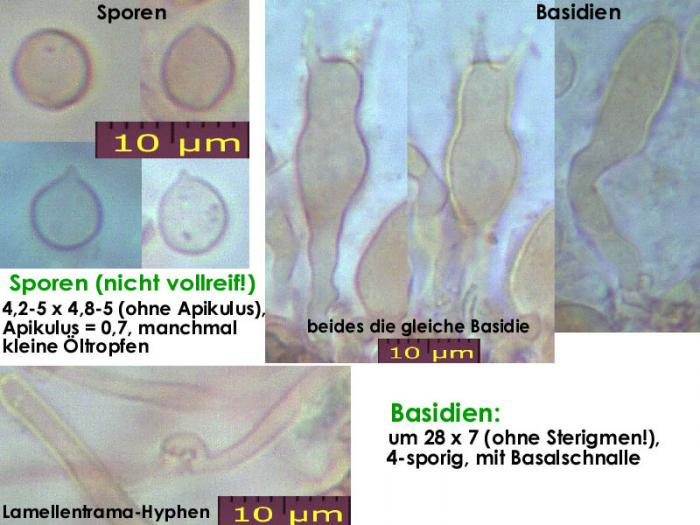 Resupinatus-applicatus-f-121226-EH-MCol-01