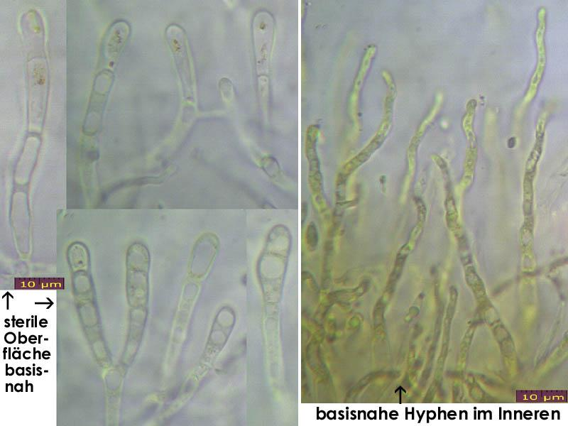 Dacrymyces-lacrymalis-130113-JAM-MCol-05JJ