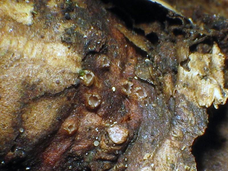 Geißblatt-Höhlenbecherchen