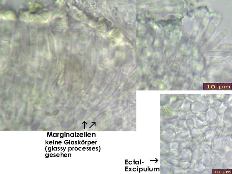 Orbilia-vinosa-131214-MCol-04JJ