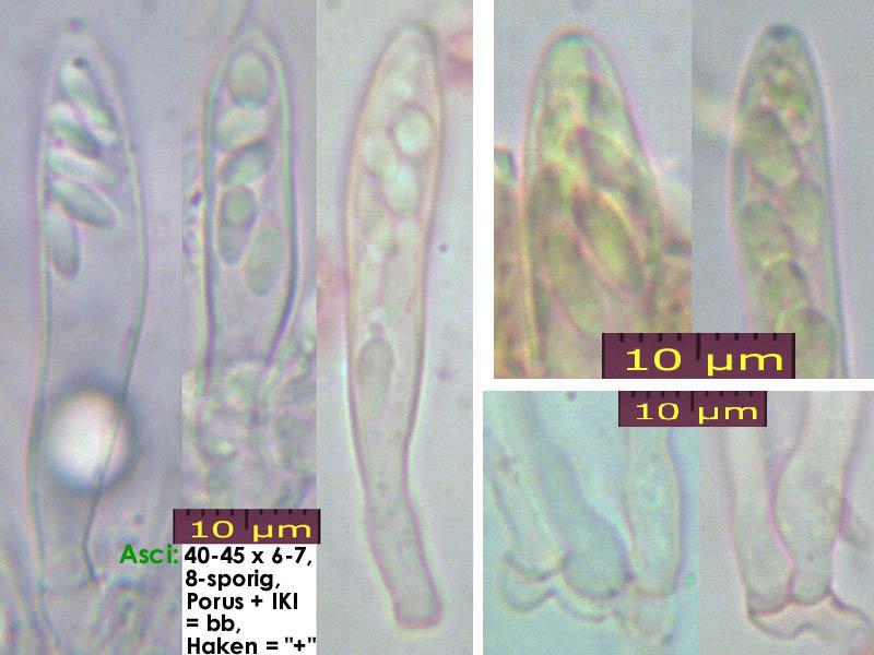 Eriopezia-caesia-150219-WS-MCol-02JJ