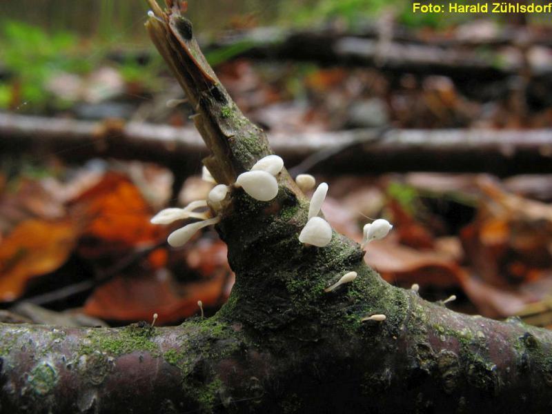 Weißes Flachkopf-Fadenkeulchen