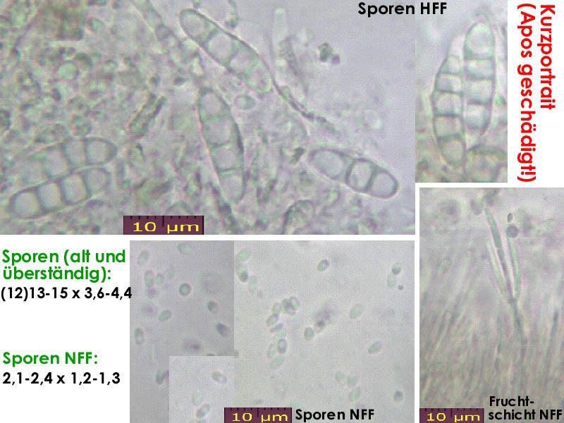 Claussenomyces-prasinulus-170227-FPr-FP347-MCol-01JJ