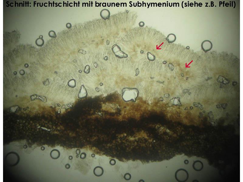 Subhym-dunkel-bei-lividofusca