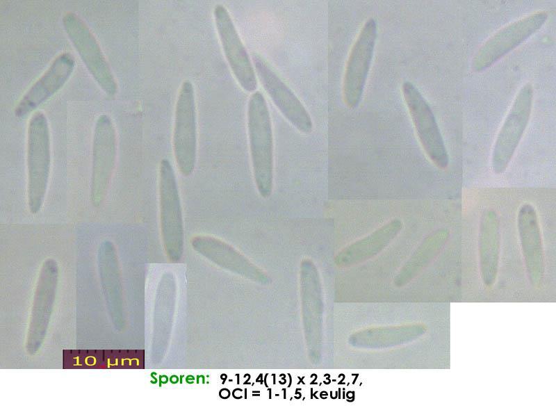 Pyrenopeziza-spec-(caulicol-hairless)-170630-FP402-MCol-01JJ