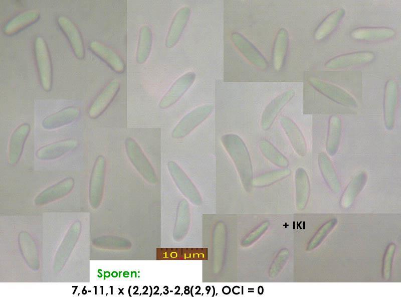 Mollisia-cinerea-(karamellbraunrandig)-180218-WS-MCol-01JJ