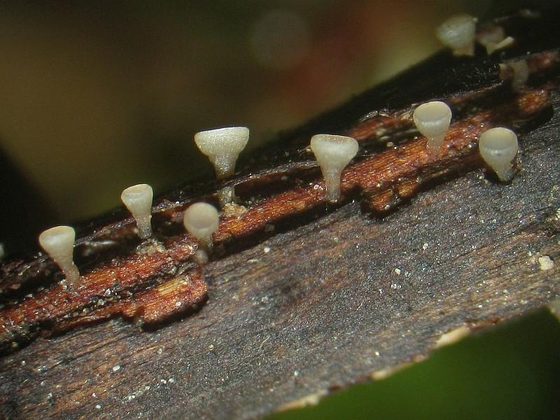 Graues Ahornpetiolen-Drechselstielbecherchen