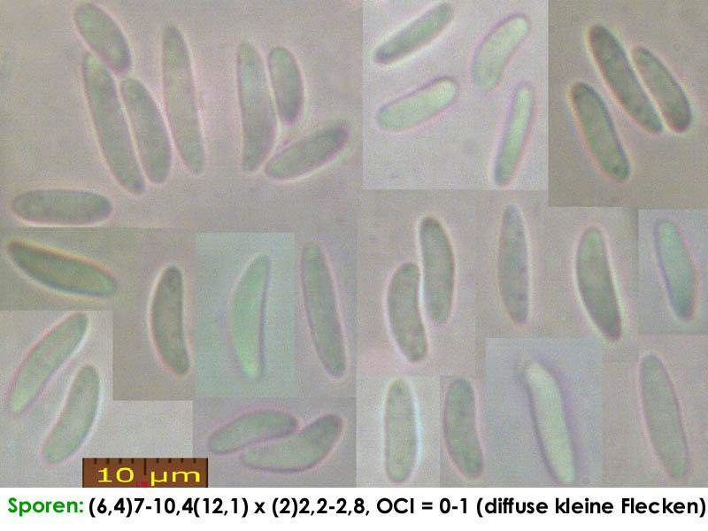 Mollisia-cinerea-(cinereoolivascens)-200404-IW065-MCol-01JJ