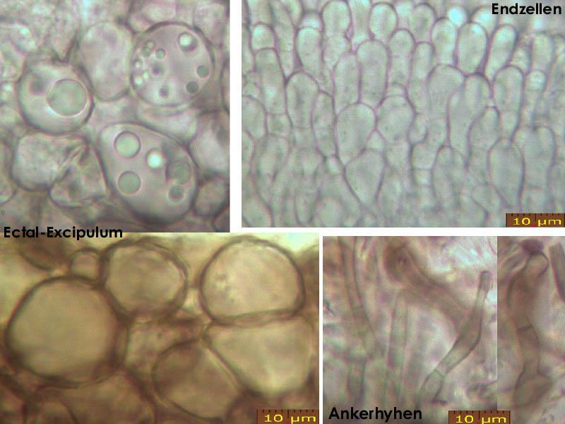 Mollisia-cinerea-(cinereoolivascens)-200404-IW065-MCol-03JJ