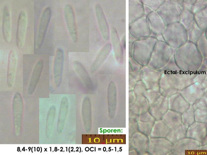 Cistella-grevillei-210519-iw113-MCol-01JJ