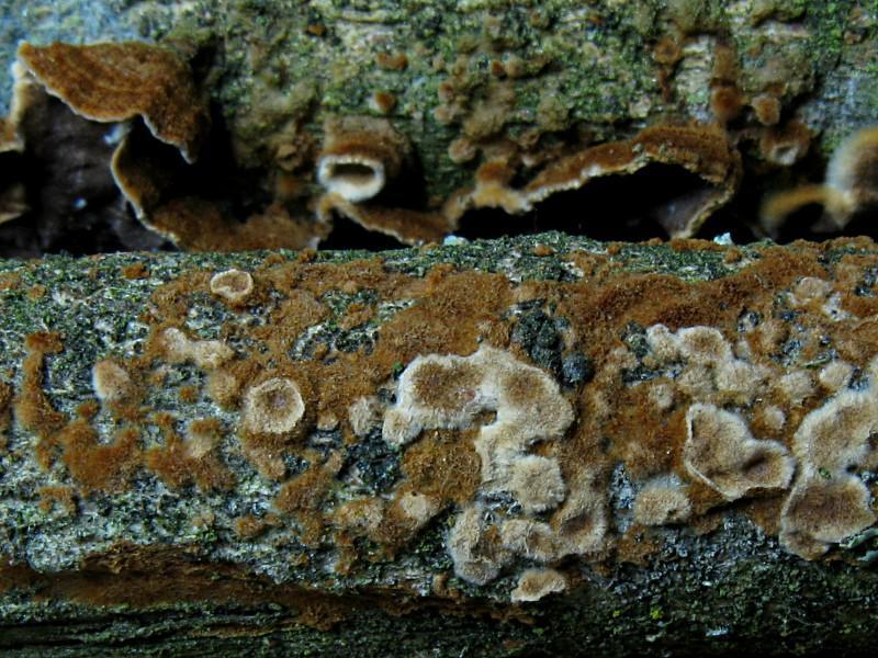 Tabakbraune Borstenscheibe