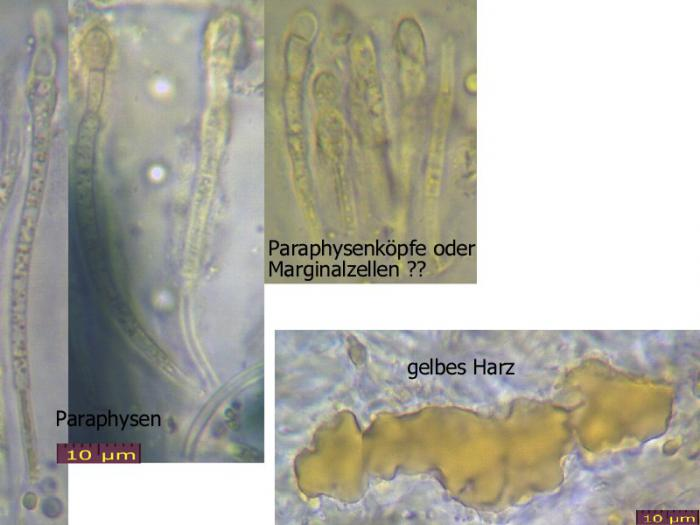 Biatorella-resinae-100807-MCol-02