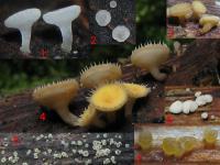 Substrat-Japanknöterich