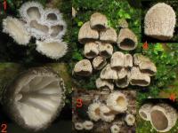 Substrat-Holunder