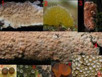 Substrat-Salweide