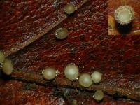 Blätter-Braunhaarbecherchen