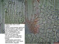 Incrucipulum-ciliare-090828-MCol-02
