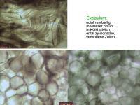 Encoelia-fascicularis-110402-MCol-05