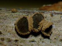 Braunolivscheibige Velutarina