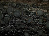Pyrenopezizaähnliches Weichbecherchen