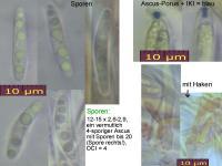 Mollisia-ventosa-110519-MCol-01
