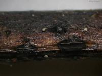 Pyrenopeziza-petiolaris-090516-02xs