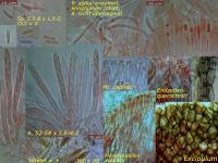 Pyrenopeziza-petiolaris-090516-MCol-01