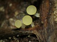 Hymenoscyphus-caudatus-091017-02xs