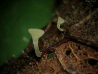 Hymenoscyphus-caudatus-091017-04xs