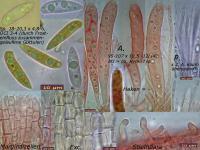 Hymenoscyphus-caudatus-091017-MCol-01