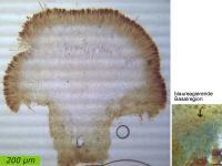 Hymenoscyphus-imberbis-110611-MCol-05