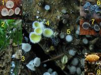 Substrat-Fagus-Cupule-110612-01-Col