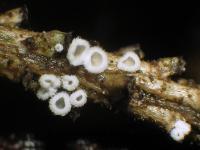 Flagelloscypha-minutissima-110912-02xs