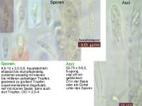 Allophylaria-cf-Phalaris-111127-MCol-01