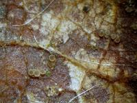 Brombeerblätter-Warzenhaarbecherchen