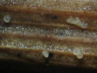 Gräser-Hyphenkranzbecherchen