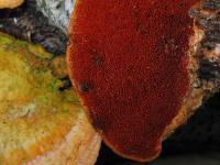 Pycnoporus-cinnabarinus-111031-02xs