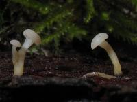 Cudoniella-acicularis-120124-02xs