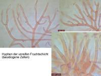 Dacrymyces-capitatus-cf-111228-MCol-03