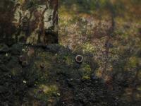Kugelsporiges Staubhaarbecherchen